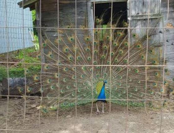 Live Peacock